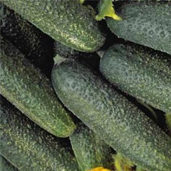Gherkin seeds from Meaux